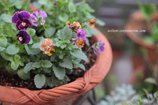 ベージュと紫のビオラの花